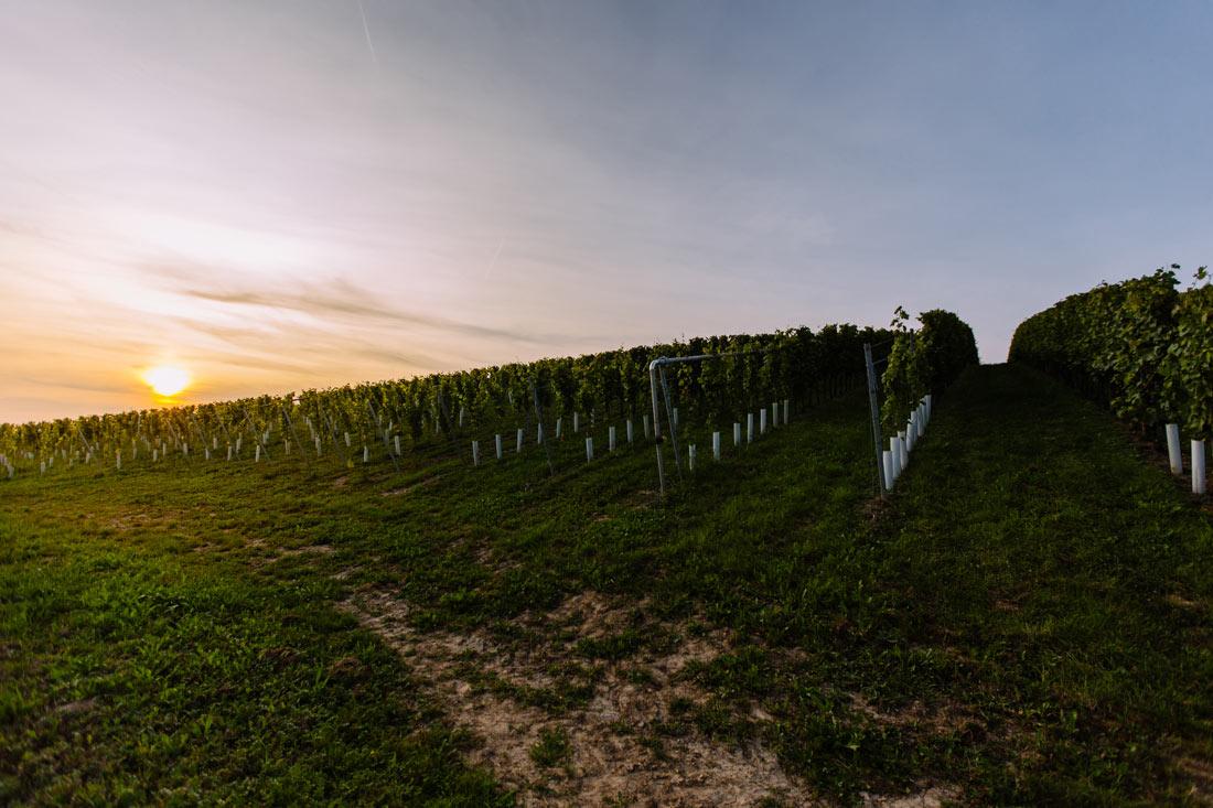 Die Sonne geht in den Weinbergen unter
